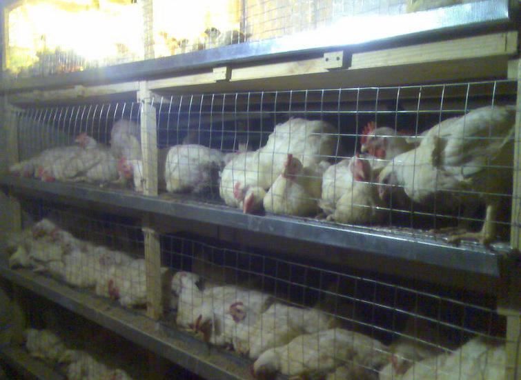 Как выращивать цыплята бройлеры в домашних условиях
