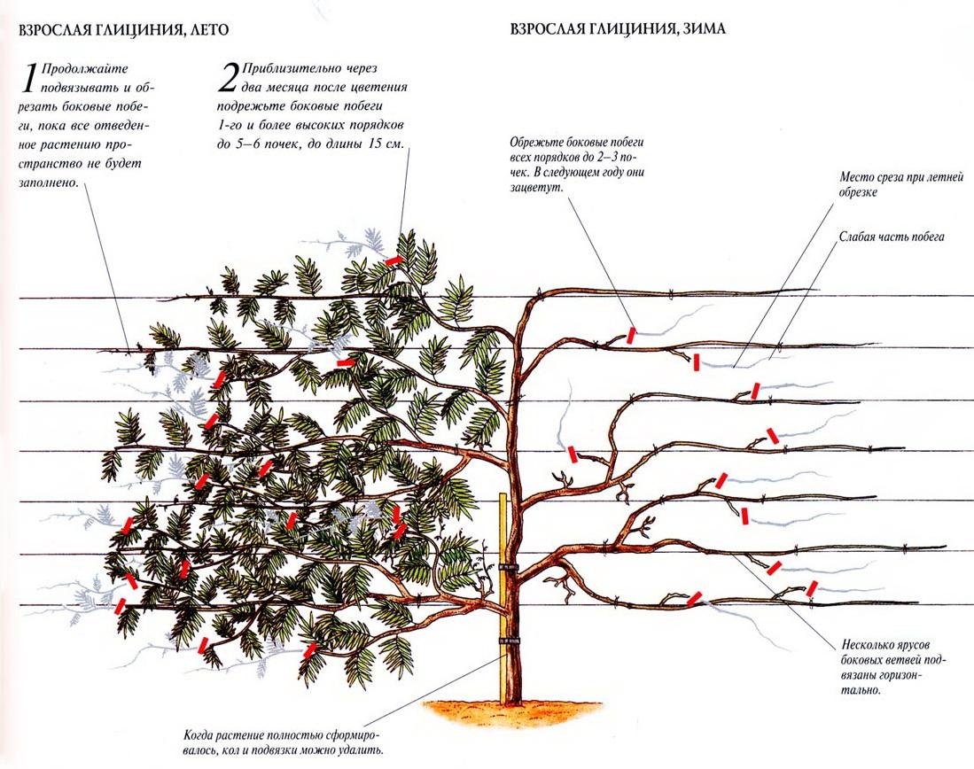 Выращивание глицинии в сибири