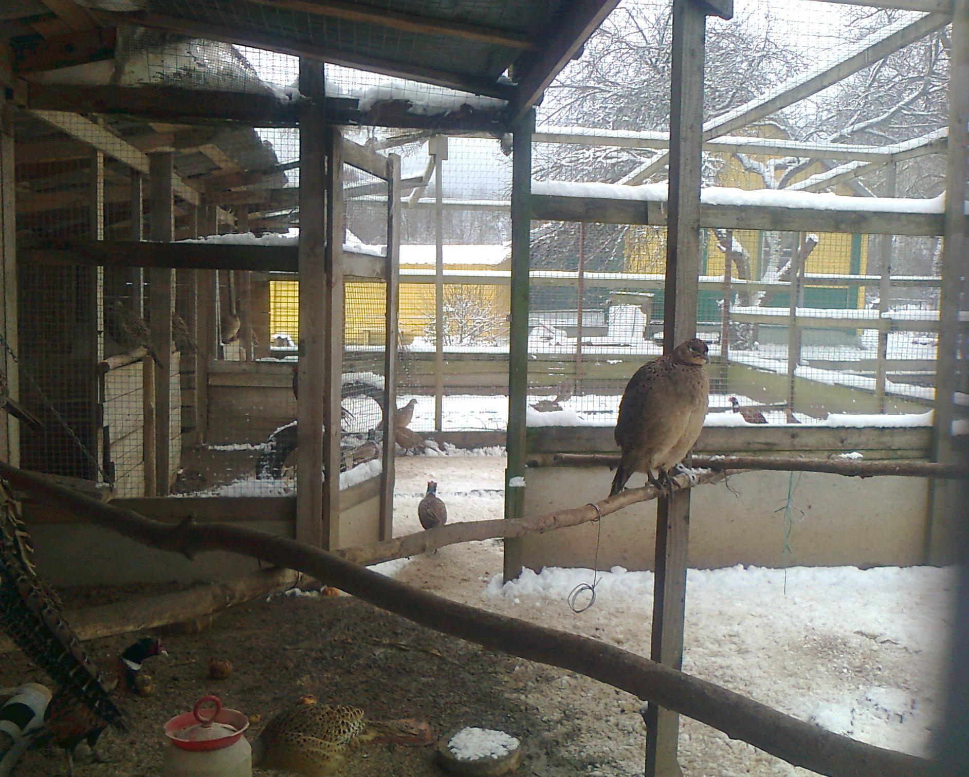 Разведения фазанов в домашних условиях бизнес 220