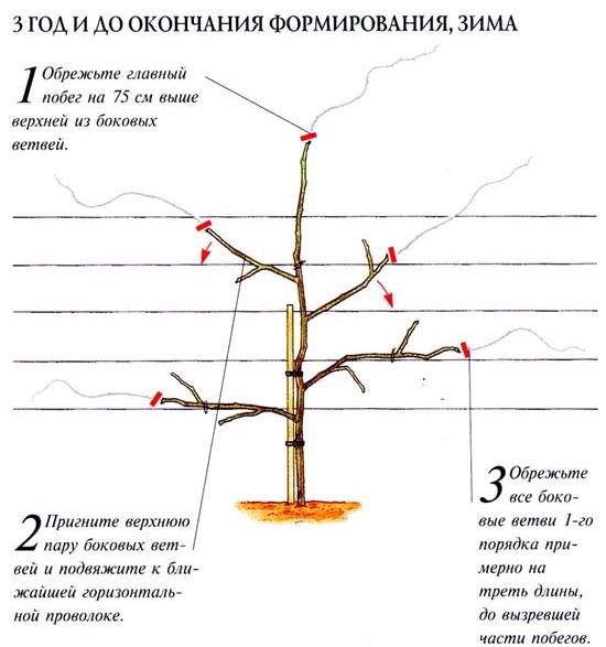 Глициния уход и выращивание в домашних условиях уход