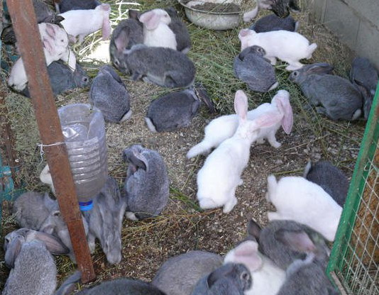 Выращивание кроликов в загонах 29