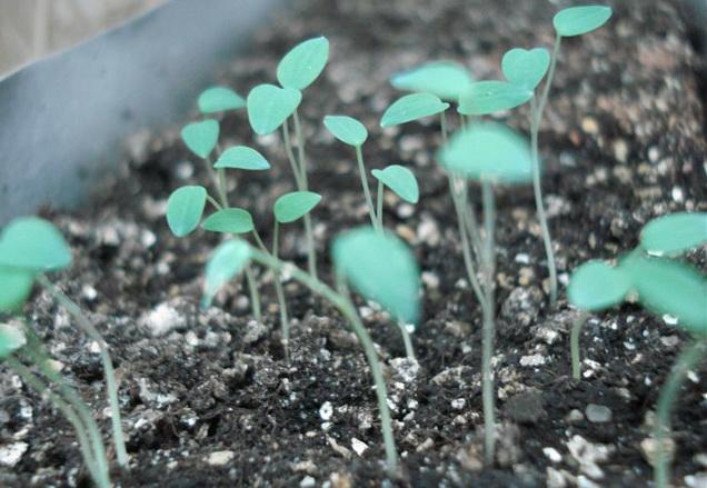 Аквилегия семенами посадка и уход в открытом грунте