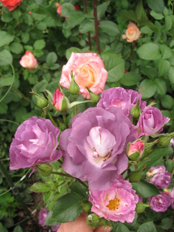 розы холодных тонов