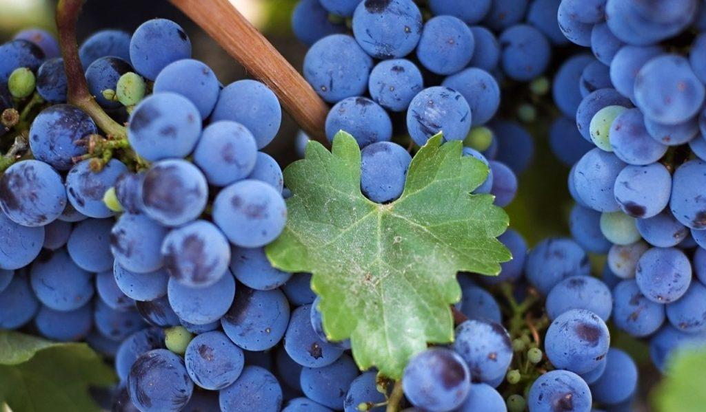 уход за черенками виноградника