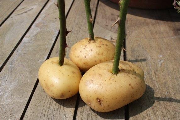 выращивании розы в картошке в домашних условиях