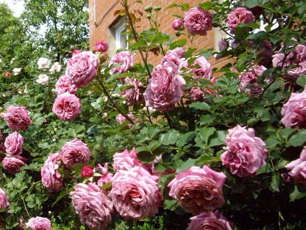 roza-klod-brasser-uhod