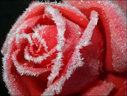 podgotovka-roz-k-zime