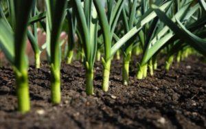 секреты урожая чеснока
