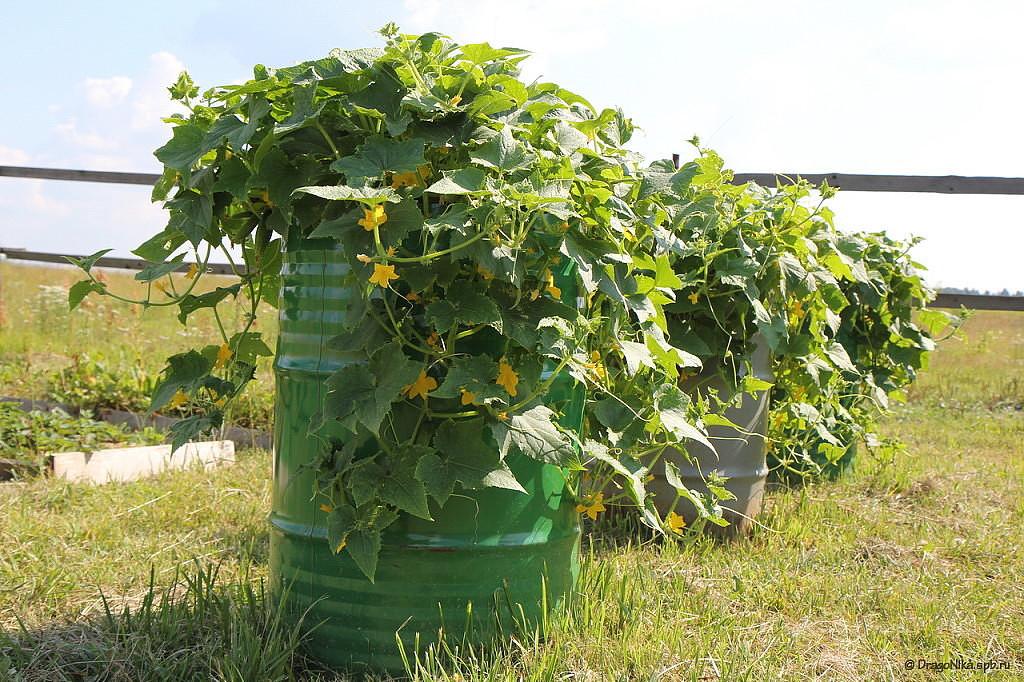 Огурцы в бочке выращивание пошагово