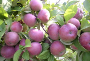 сорт яблок спартан