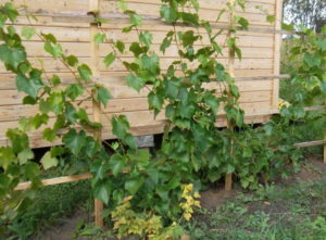 Виноград не любит излишней воды на листьях и в почве