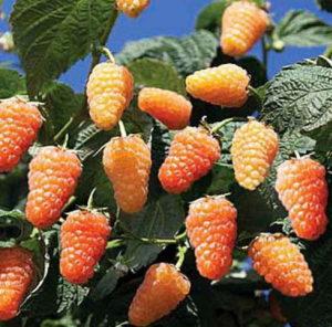 малина оранжевое чудо уход отзывы