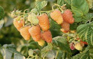 малина оранжевое чудо крупноплодная
