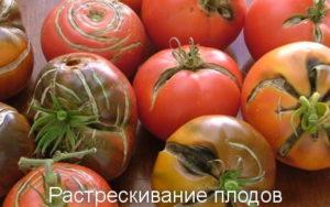 Растрескивание плодов томатов
