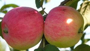 плоды яблони мельба