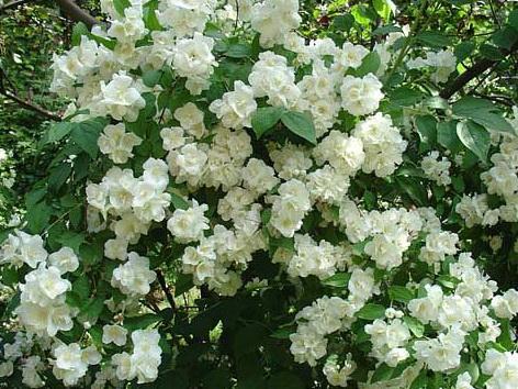 Чубушник обыкновенный цветы