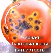 Черная бактериальная пятнистость томатов