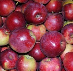 отзывы о яблоне спартан