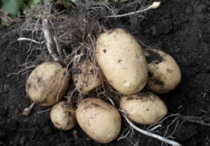 Выращивание картофеля Удача