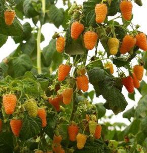 малина оранжевое чудо описание сорта фото отзывы