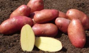 Картофель богат витаминами А В Н и РР
