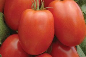 томат барнаульский