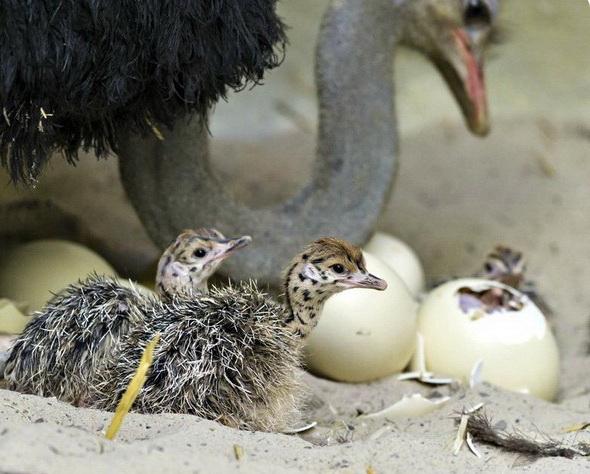 Размножение страусов для начинающих