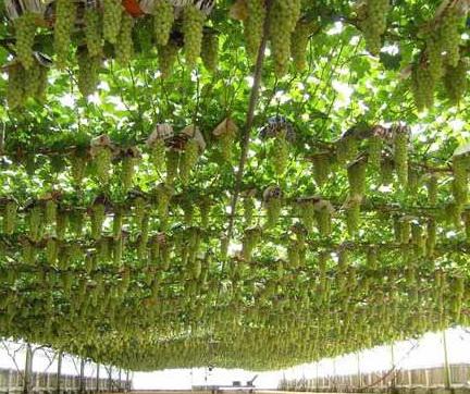26.виноград алешенькин описание сорта фото отзывы