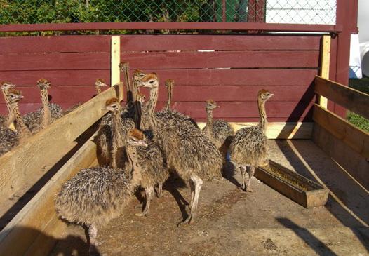 Создание страусиной фермы