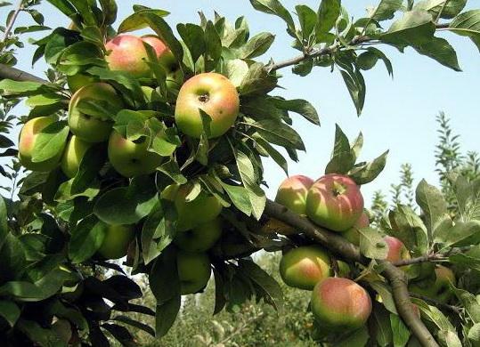 выращивание яблони богатырь