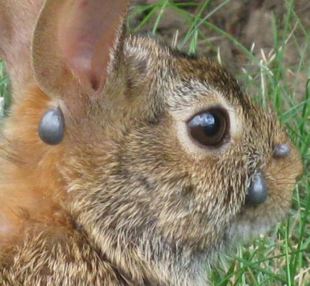 Болезни кроликов фото и описание