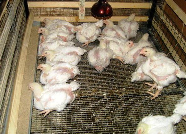 Условия для цыплят