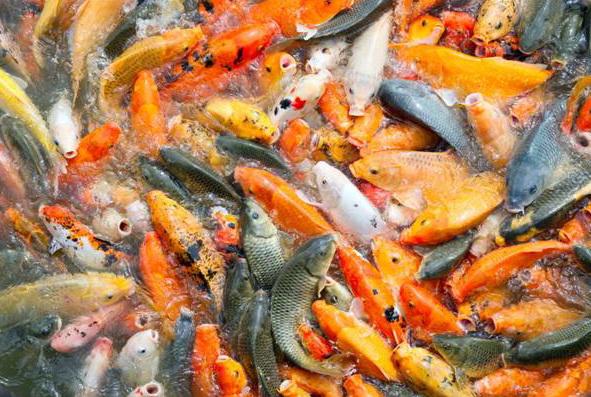 бизнес на разведении рыбы