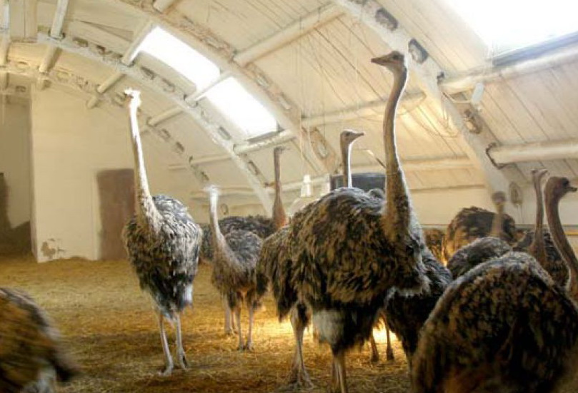 Преимущества бизнеса по разведению страусов