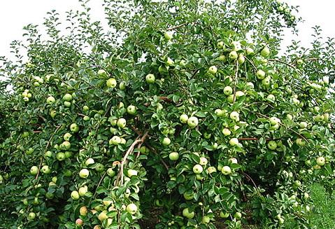 яблоня богатырь описание фото отзывы