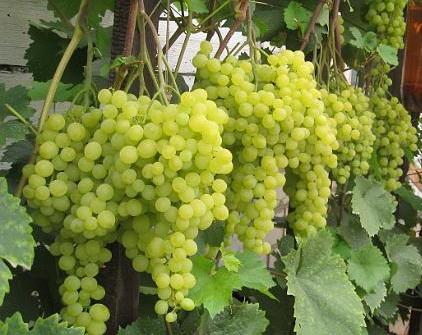 Высокоурожайный сорт винограда алёшенькин