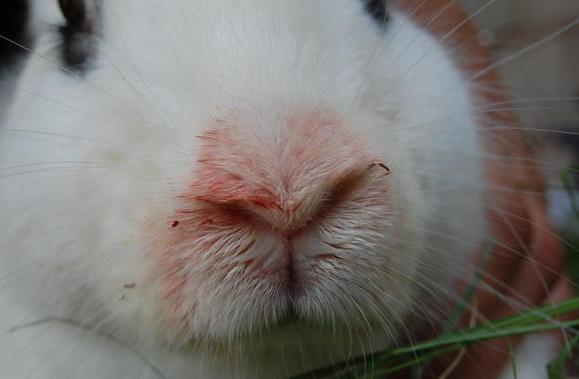 Пастереллез кроликов