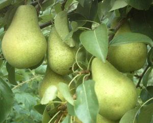 Отзывы о выращивании груши чижовская