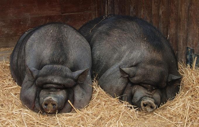 вьетнамские вислобрюхие свиньи содержание