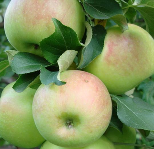 яблоня богатырь описание фото