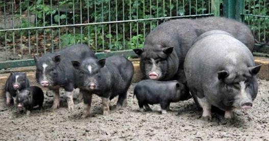 Условия содержания вьетнамских вислобрюхих свиней