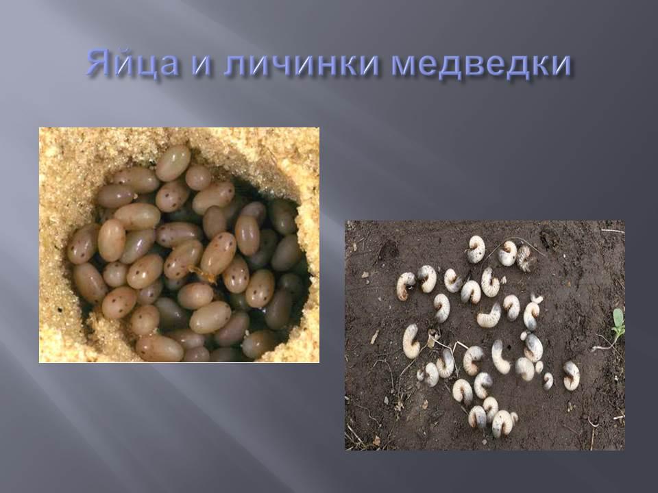 яйца и личинки медвёдки