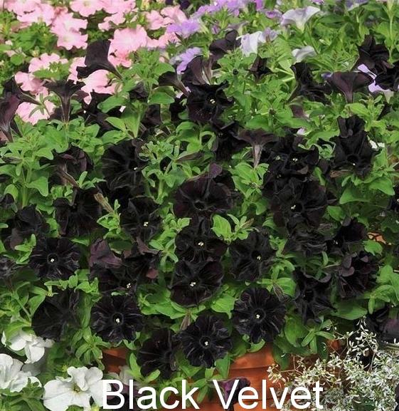 петуния Black Velvet