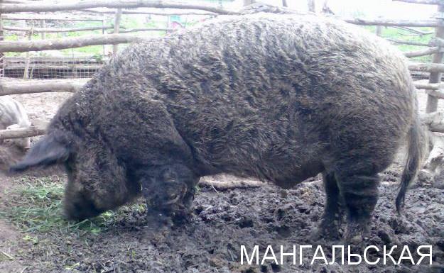 мангальские свиньи