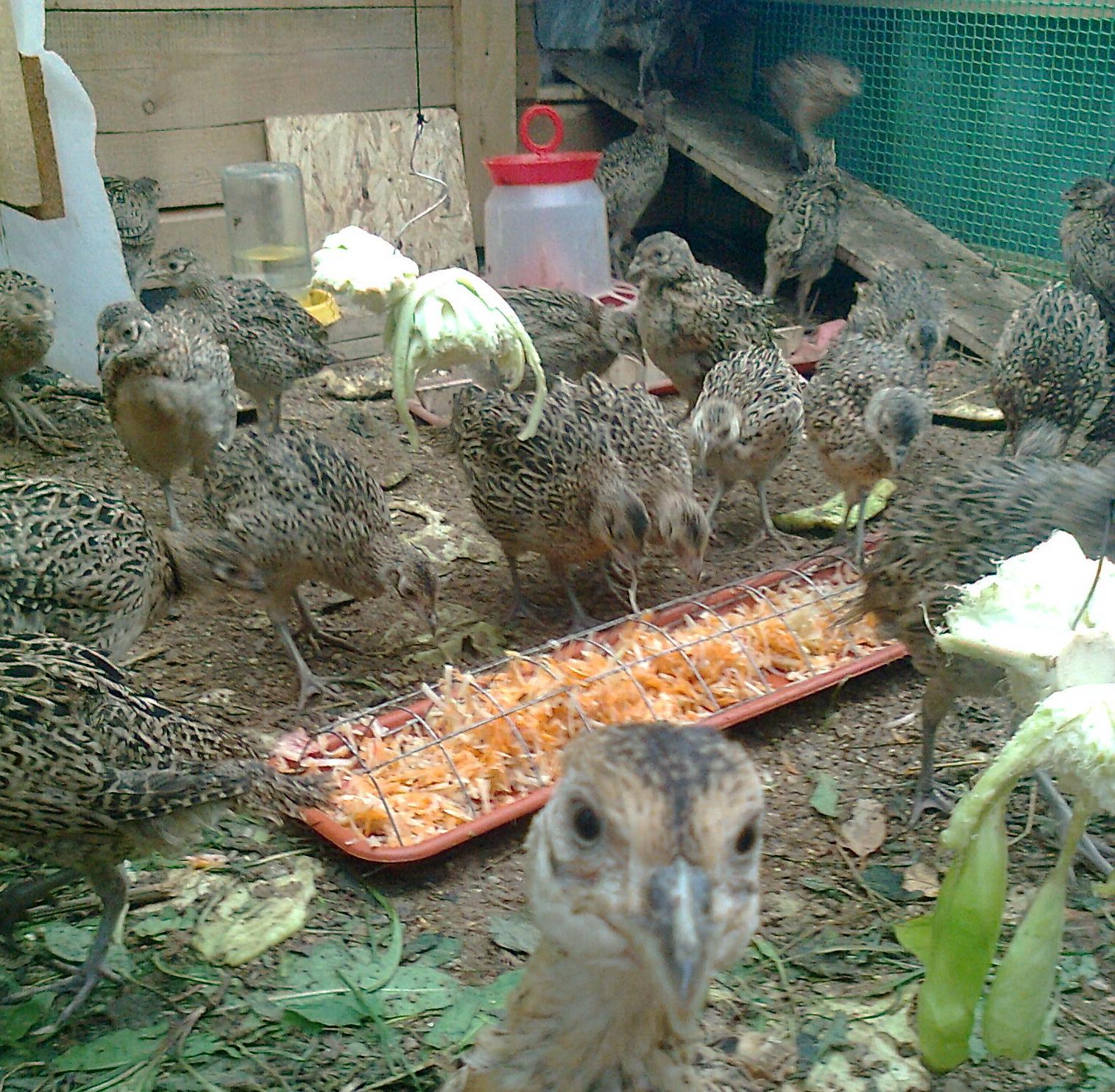 Подготовка к содержанию фазана в домашних условиях