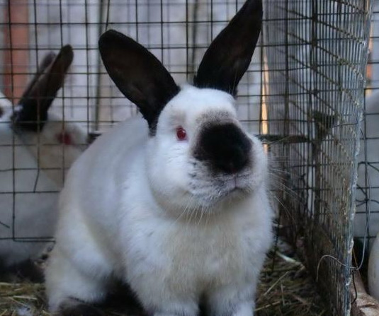 кролики калифорнийские разведение выращивание кормление