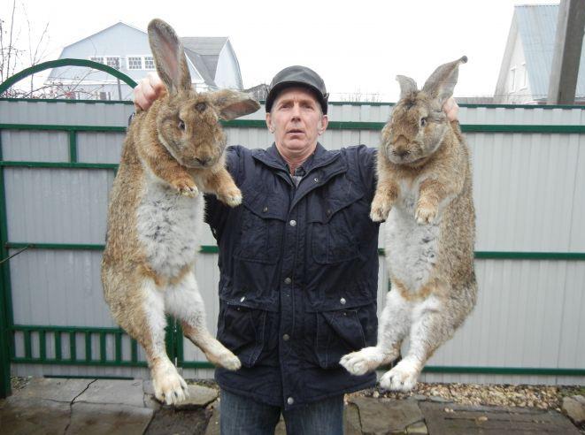 кролики великаны разведение выращивание кормление