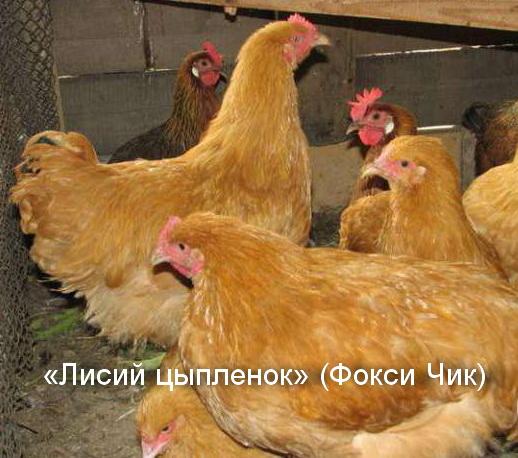 куры породы Лисий цыпленок Фокси Чик