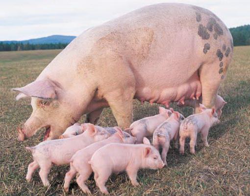 Как содержать свиноматок