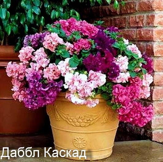 петуния Даббл Каскад